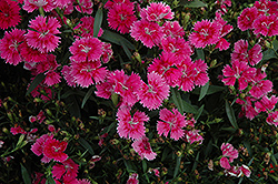Ideal Select Raspberry Pinks (Dianthus 'Ideal Select Raspberry') at New Garden Landscaping & Nursery