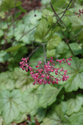 Circus Coral Bells (Heuchera 'Circus') at New Garden Landscaping & Nursery