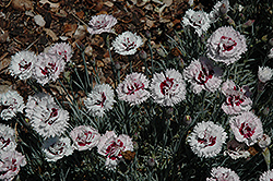 Silver Star Pinks (Dianthus 'Silver Star') at New Garden Landscaping & Nursery