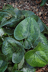 Ling Ling Panda Face Ginger (Asarum maximum 'Ling Ling') at New Garden Landscaping & Nursery