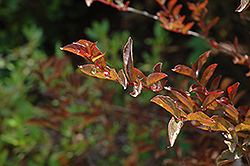 Cherry Dazzle Crapemyrtle (Lagerstroemia indica 'Gamad 1') at New Garden Landscaping & Nursery