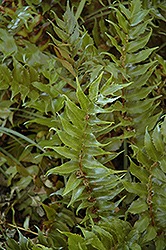 Beech Fern (Thelypteris decursive-pinnata) at New Garden Landscaping & Nursery