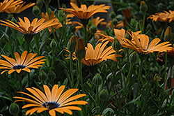 Orange Symphony African Daisy (Osteospermum 'Orange Symphony') at New Garden Landscaping & Nursery