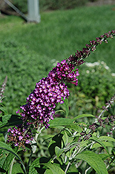Buzz Pink Purple Butterfly Bush (Buddleia 'Buzz Pink Purple') at New Garden Landscaping & Nursery