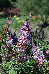 Buzz Violet Butterfly Bush (Buddleia 'Tobudviole') at New Garden Landscaping & Nursery