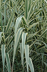 Peppermint Stick Giant Reed Grass (Arundo donax 'Peppermint Stick') at New Garden Landscaping & Nursery