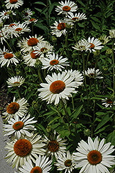 Fragrant Angel White Coneflower (Echinacea purpurea 'Fragrant Angel') at New Garden Landscaping & Nursery