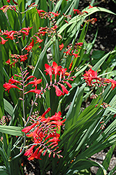 Emberglow Crocosmia (Crocosmia 'Emberglow') at New Garden Landscaping & Nursery