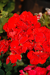 Americana® Red Geranium (Pelargonium 'Americana Red') at New Garden Landscaping & Nursery