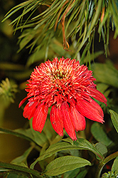 Double Scoop™ Cranberry Coneflower (Echinacea 'Balscanery') at New Garden Landscaping & Nursery