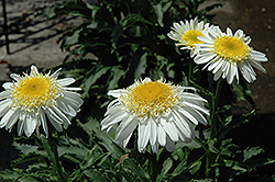 Real Glory Shasta Daisy (Leucanthemum x superbum 'Real Glory') at New Garden Landscaping & Nursery
