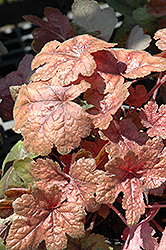 Brass Lantern Foamy Bells (Heucherella 'Brass Lantern') at New Garden Landscaping & Nursery