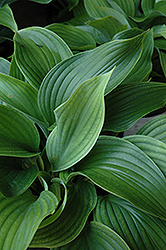 Komodo Dragon Hosta (Hosta 'Komodo Dragon') at New Garden Landscaping & Nursery