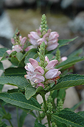 Turtlehead (Chelone glabra) at New Garden Landscaping & Nursery