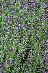 SuperBlue Lavender (Lavandula angustifolia 'SuperBlue') at New Garden Landscaping & Nursery