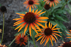Flame Thrower Coneflower (Echinacea 'Flame Thrower') at New Garden Landscaping & Nursery
