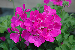 Caliente Lavender Geranium (Pelargonium 'Caliente Lavender') at New Garden Landscaping & Nursery