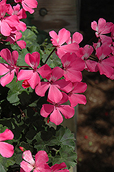 Caliente Pink Geranium (Pelargonium 'Caliente Pink') at New Garden Landscaping & Nursery