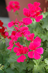 Caliente Rose Geranium (Pelargonium 'Caliente Rose') at New Garden Landscaping & Nursery