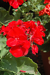 Americana® Dark Red Geranium (Pelargonium 'Americana Dark Red') at New Garden Landscaping & Nursery