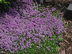 Purple Carpet Creeping Thyme (Thymus praecox 'Purple Carpet') at New Garden Landscaping & Nursery
