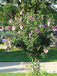 Aphrodite Rose of Sharon (Hibiscus syriacus 'Aphrodite') at New Garden Landscaping & Nursery