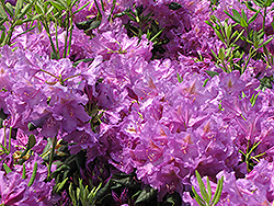 Lee's Dark Purple Rhododendron (Rhododendron catawbiense 'Lee's Dark Purple') at New Garden Landscaping & Nursery