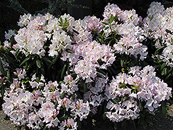 White Catawba Rhododendron (Rhododendron catawbiense 'Album') at New Garden Landscaping & Nursery