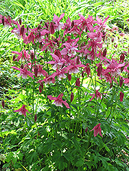 Songbird Robin Columbine (Aquilegia 'Robin') at New Garden Landscaping & Nursery