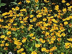Dwarf Tickseed (Coreopsis auriculata 'Nana') at New Garden Landscaping & Nursery