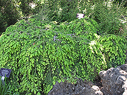 Cole's Prostrate Hemlock (Tsuga canadensis 'Cole's Prostrate') at New Garden Landscaping & Nursery