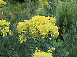 Yellow Meadow Rue (Thalictrum flavum 'Glaucum') at New Garden Landscaping & Nursery