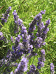 Grosso Lavender (Lavandula x intermedia 'Grosso') at New Garden Landscaping & Nursery