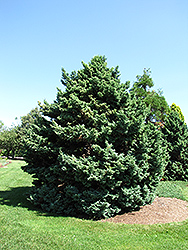 Boulevard Falsecypress (Chamaecyparis pisifera 'Boulevard') at New Garden Landscaping & Nursery