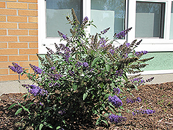 Nanho Blue Butterfly Bush (Buddleia davidii 'Nanho Blue') at New Garden Landscaping & Nursery