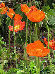 Iceland Poppy (Papaver nudicaule) at New Garden Landscaping & Nursery