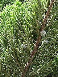 Kaizuka Juniper (Juniperus chinensis 'Kaizuka') at New Garden Landscaping & Nursery