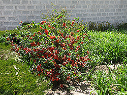 Cameo Flowering Quince (Chaenomeles speciosa 'Cameo') at New Garden Landscaping & Nursery