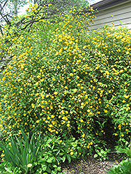 Double Flowered Japanese Kerria (Kerria japonica 'Pleniflora') at New Garden Landscaping & Nursery