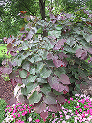 Forest Pansy Redbud (Cercis canadensis 'Forest Pansy') at New Garden Landscaping & Nursery