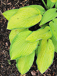 Inniswood Hosta (Hosta 'Inniswood') at New Garden Landscaping & Nursery