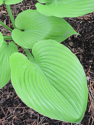 Sum and Substance Hosta (Hosta 'Sum and Substance') at New Garden Landscaping & Nursery