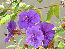 Princess Flower (Tibouchina urvilleana) at New Garden Landscaping & Nursery