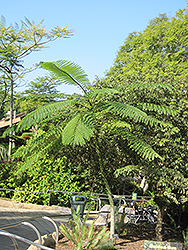Brazilian Fern Tree (Schizolobium parahybum) at New Garden Landscaping & Nursery