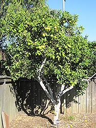 Persian Lime Citrus X Latifolia In Greensboro High Point