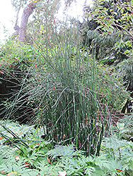Horsetail (Equisetum hyemale) at New Garden Landscaping & Nursery