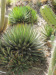 Thread-leaf Agave (Agave filifera ssp. schidigera) at New Garden Landscaping & Nursery