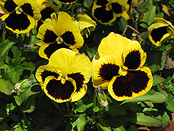 Delta Yellow With Blotch Pansy (Viola x wittrockiana 'Delta Yellow With Blotch') at New Garden Landscaping & Nursery
