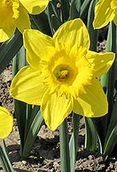 King Alfred Daffodil (Narcissus 'King Alfred') at New Garden Landscaping & Nursery