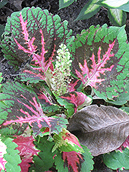 King Kong Coleus (Solenostemon scutellarioides 'King Kong') at New Garden Landscaping & Nursery